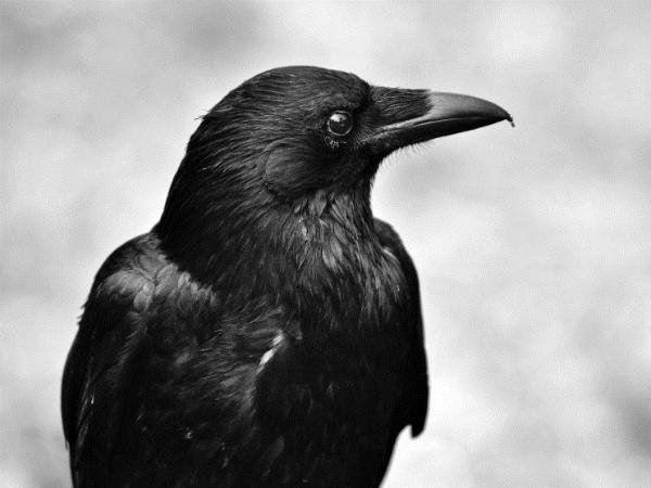 Nằm mơ thấy con quạ có ý nghĩa gì, chơi xổ số con gì may mắn
