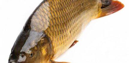 Mơ thấy cá chép điềm báo tốt hay xấu?